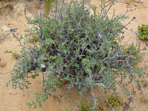 Pelargonium carnosum subsp. ferulaceum in habitat