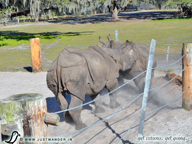 PIC: Indian Rhino chasing another at Giraffe Ranch.
