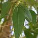 Lance-leaf Cottonwood tree