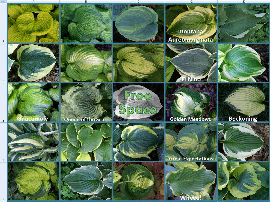 2014 Hosta Bingo - 1st update