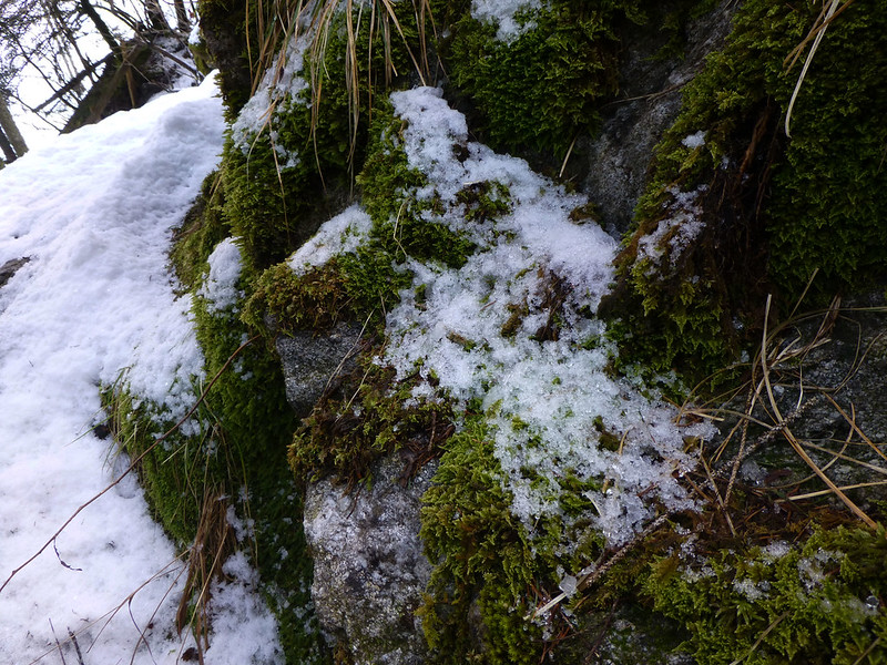 moss with snow
