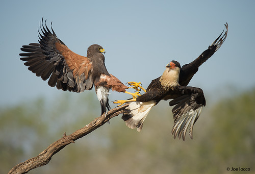 Harris Hawk vs Crested Caracara