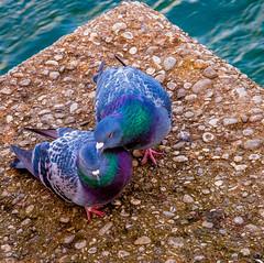 München, süßes Liebesgeflüster zweier Stadttauben an der Isar -- Munich, sweet whispers of love of two feral pigeons on the river Isar