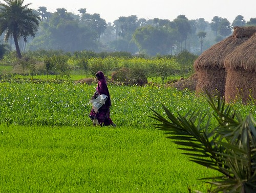A woman in a purple saree walks across lush wheat and mustard fields