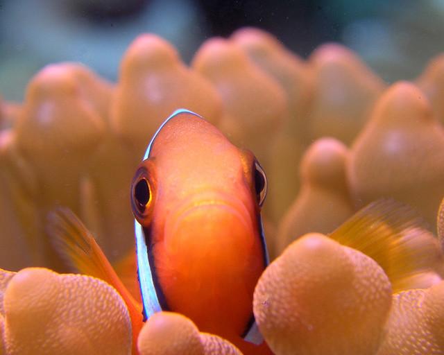 Salang Reef - Tioman Island.jpg
