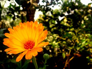Little Sunflower of my Garden by iPhone photography..