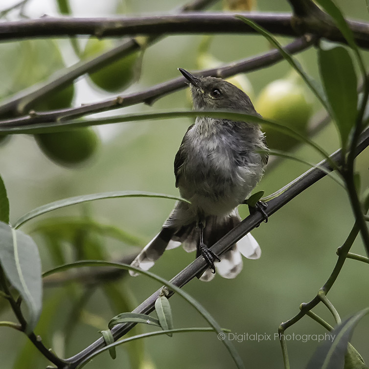 Grey Warbler - Mana Island