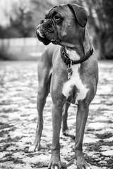 Boxer dog in the garden