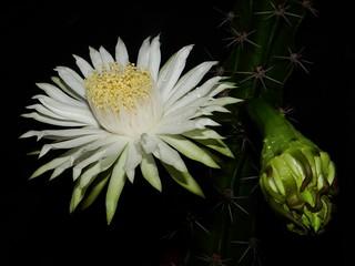 Cactus: HARRISIA BALANSAE  #11: FLOWER  &  BUD @ 10:41pm