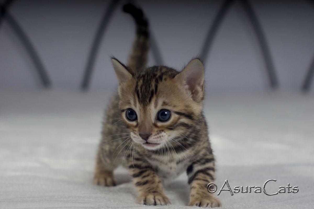 AsuraCats Rainbow - Brown rosetted Bengal kitten