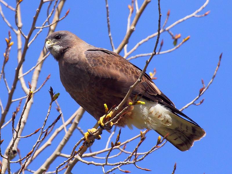 IMG_0030 Swainson's Hawk?