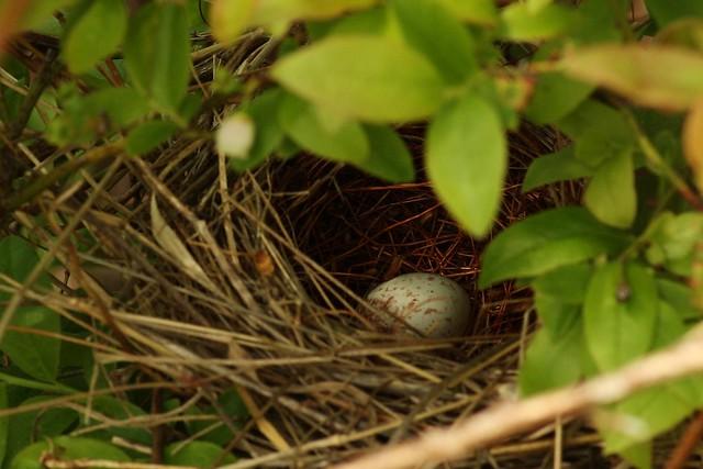 Field Sparrow Nest