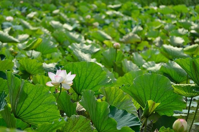 ハス Lotus flower