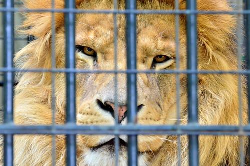 野毛山動物園のライオン (Lion of Nogeyama Zoo)