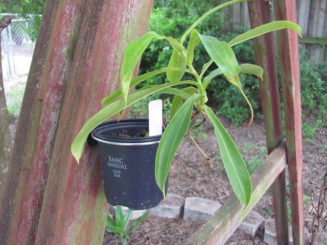 Nepenthes in the ring