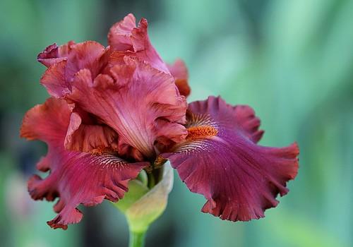 Iris - floraisons 2011 - Page 2 8739557501_8d820ac050