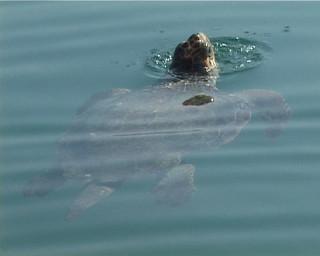 2008-10 sea turtle study at Patok lagoon, Albania
