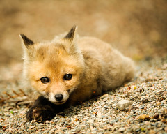 Baby Red Fox (kit) Vulpes vulpes