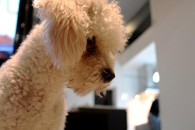 un perro caniche jugando con una pelota, un animal hermoso
