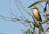 Masked Shrike (Lanius nubicus) by jonnobird (Catching up after Cyprus)