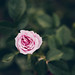 rosa by Itziar Aio