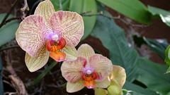cattleya trianae(0.0), flower(1.0), plant(1.0), macro photography(1.0), flora(1.0), moth orchid(1.0), petal(1.0),