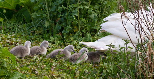 irish baby cute bird nature water animals swan clare babies wildlife cygnet fluffy birdwatching osiris muteswan cygnusolor babyanimal babyswan irishwildlife irishbirds thewonderfulworldofbirds natureinireland