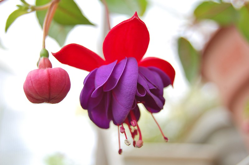 My beautiful Fuschia plant