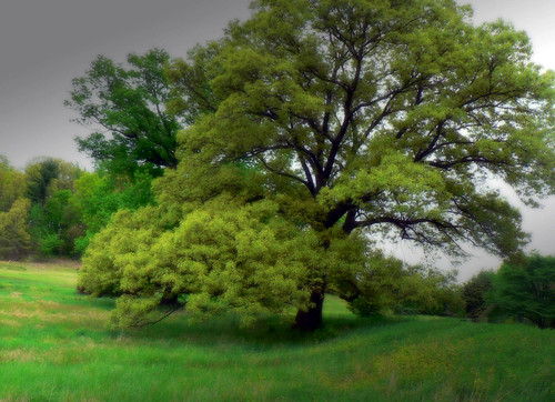 The Spanish Oak