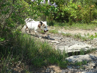 Morgana Walking in Wainfleet Quarry May 20, 2013