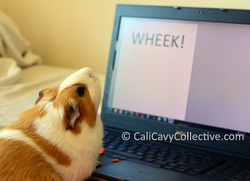 guinea pig link roundup Peaches on laptop