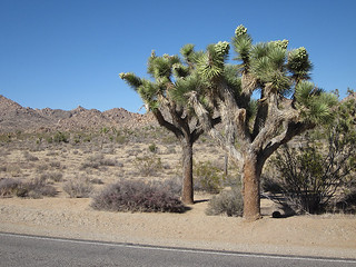 Roadside Joshua Trees