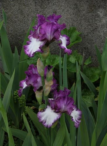 Nos Iris : floraisons 2012 8985855060_cd4d732851