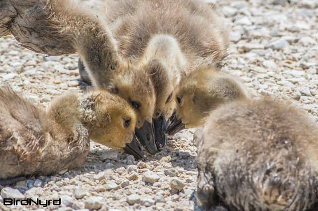BIRDS-canada-goose-goslings-1135-2small