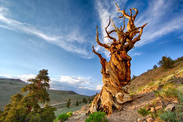 Matusalén, árbol de la especie pinus longaeva. El Antiguo Bosque de los Pinos Longevos. Montañas Blancas, California.