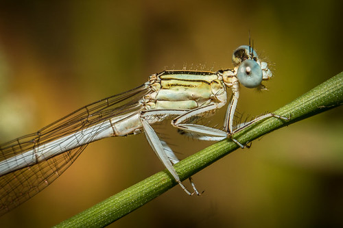 france animal planet provence damselfly odonata zygoptera durance platycnemislatipes valdedurance whitefeatherleg