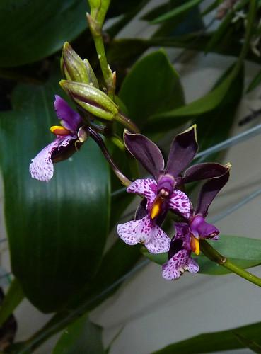 Oncidium cuculatum species orchid
