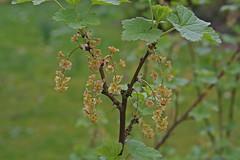 Grossulariaceae