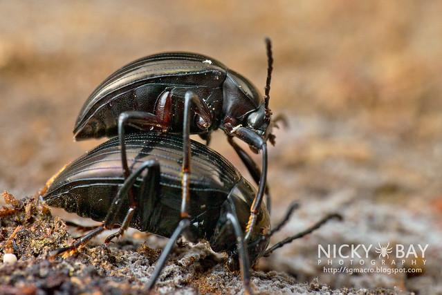 Darkling Beetles (Tenebrionidae) - DSC_1379