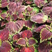 Small photo of Coleus Solar Sunrise