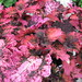 Small photo of Coleus Florida Sun Rose