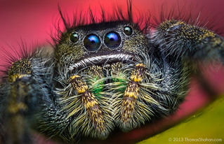 Phidippus johnsoni - Adult Female Jumping Spider - Oregon