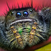 Phidippus johnsoni - Adult Female Jumping Spider - Oregon by Thomas Shahan