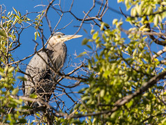 Gret Blue Heron in a Tree by Spring Valley Pond