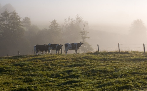 morning mist fog 50mm cow cows mark slb holstein latesummer heifers heifer dairycattle svensklåglandsboskap fotskäl surtanrivervalley