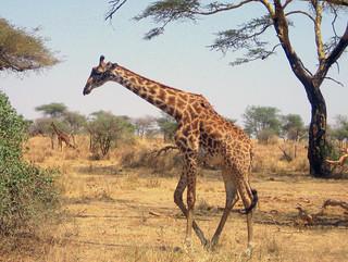 Giraffe (Serengeti)