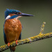 Kingfisher by Paul Tymon