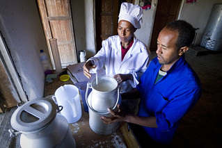 Two workers test the quality of milk in containers
