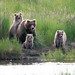 Brown Bear Mother with Yearlings, Katmai National Park by Christoph Strässler
