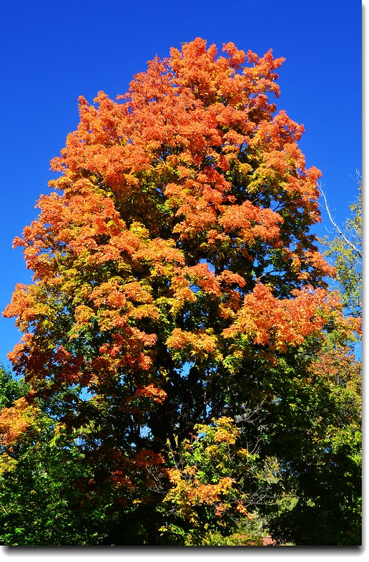 Maple in Fall, Mapleton Hill, Boulder (29)